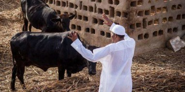Buhari-cows-2